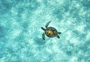 Sea Green Prints - Green Sea Turtle In Under Water Print by M.M. Sweet