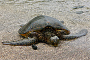 Green Sea Turtle Photos - Green Sea Turtle by Jocelyn Kahawai