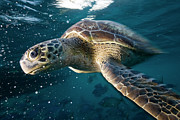 Sea Green Posters - Green Sea Turtle Poster by Kaido Haagen