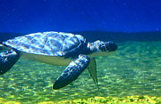 Longevity Posters - Green Sea Turtle Poster by Karon Melillo DeVega
