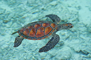 Natural Pattern Posters - Green Sea Turtle Poster by Mako photo