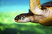 Swimming Animal Prints - Green Sea Turtle Print by Marilyn Hunt