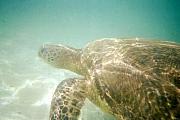 Green Sea Turtle Photos - Green Sea Turtle by Mark Cheney