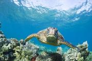 Green Sea Turtle Photos - Green Sea Turtle over Reef by Monica & Michael Sweet - Printscapes