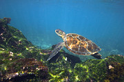 Long-lived Photos - Green Sea Turtle by Peter Scoones