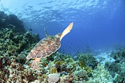 Green Sea Turtle Photos - Green Sea Turtle by Photostock-israel