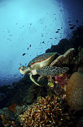 Green Sea Turtle Photos - Green Sea Turtle Resting On A Plate by Mathieu Meur