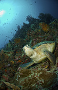 Ledge Posters - Green Sea Turtle Resting On A Rocky Poster by Mathieu Meur