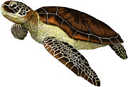 Reptiles Drawings Prints - Green Sea Turtle Print by Roger Hall and Photo Researchers