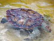 Green Sea Turtle Photos - Green Sea Turtle by Stacey Robinson