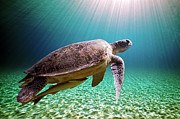 Green Turtle Posters - Green Sea Turtle Poster by Stephen Ennis Photography