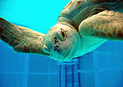 Green Sea Turtle Photos - Green Sea Turtle by William Hanus