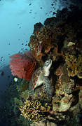 Gorgonian Photos - Green Sea Turtle With A Red Gorgonian by Mathieu Meur