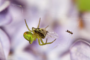 Jouko Mikkola - Green spider with prey