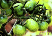 Tomatoes Mixed Media Prints - Green Tomato Print by adSpice Studios