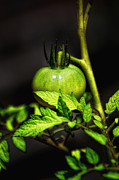 Garden - Green Tomato by Bill Cannon