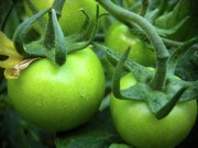 Tending Framed Prints - Green Tomatoes No.1 Framed Print by Kamil Swiatek