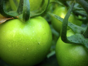Tending Framed Prints - Green Tomatoes No.2 Framed Print by Kamil Swiatek