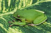 Tree Creature Prints - Green Tree Frog Print by Dave Fleetham - Printscapes