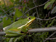 Amphibians Art - Green Tree Frog by Griffin Harris