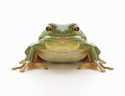 Symmetry Art - Green Tree Frog (hylidae Cinerea) by Don Farrall