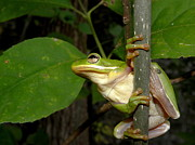 Frogs Art - Green Tree Frog II by Griffin Harris
