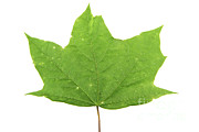 Tree Leaf Posters - Green Tree Leaf Poster by Photo Researchers