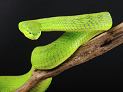 Viper Prints - Green Tree Pit Viper (trimeresurus) Print by Peter Schoen
