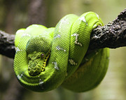 Natural Pattern Posters - Green Tree Python Poster by Andy Wanderlust