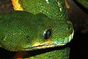 Scott Hovind - Green Tree Python