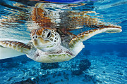Treated Photos - Green Turtle by Alexis Rosenfeld