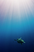 Undersea Prints - Green Turtle Swimming In Sunlit Ocean Print by Image by Dan Exton, UK