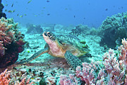 Green Sea Turtle Photos - Green Turtle by Wendy A. Capili