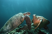 Long-lived Photos - Green Turtles by Georgette Douwma