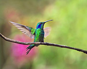 Costa Prints - Green Violetear in the Garden Print by Tony Beck