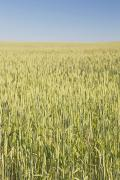 Unripe Prints - Green Wheat Field, Alberta, Canada Print by Michael Interisano