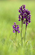 Monocot Prints - Green-winged Orchid (anacamptis Morio) Print by Adrian Bicker