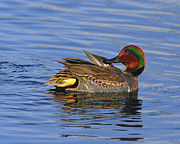 Drake Art - Green-winged Teal by Tony Beck