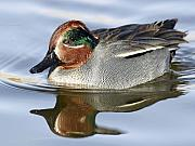Desenclos Patrick - Green Wingle teal