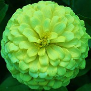 Zinna Photos - Green with Envy 1 by Bruce Bley