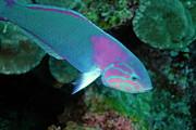 Sami Sarkis - Green Wrasse on coral reef