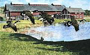 Old Barns Acrylic Prints - Greenbank Farm Geese Acrylic Print by Perry Woodfin