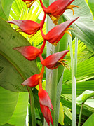 Greenhouse Heliconia Print by Stephen Mack