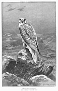Gyrfalcon  Metal Prints - Greenland: Gyr-falcon Metal Print by Granger