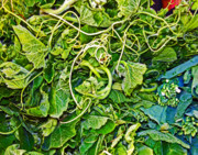 Salad Prints - Greens Print by Charlette Miller