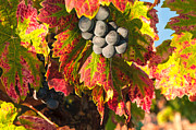 Bunch Of Grapes Framed Prints - Grenache autumn Framed Print by Philippe Taka