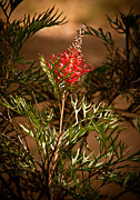 Australia Digital Art - Grevillea On Show by Heather Thorning