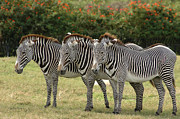 Pajamas Prints - Grevy Trio Print by Sue Jarrett