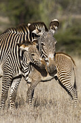 Interacting Prints - Grevys Zebra And Young Foal Lewa Print by Suzi Eszterhas