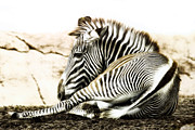 Imperial Digital Art - Grevys Zebra by Bill Tiepelman